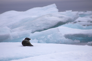 Seal on ice. Photo: Garry Donaldson CLICK TO DOWNLOAD FOR MEDIA USE