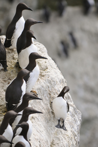 Guillemot colony, Photo: David Thyberg/Shutterstock,com