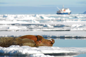 Shipping can pose threats to marine species like the walrus/ Photo: Lawrence Hislop, UNEP-GRID Arendal