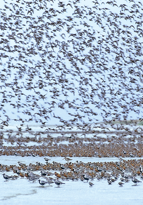 migratory shorebirds. Photo: Jan van de Kam
