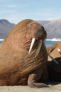 walrus. Photo: Carsten Egevang, ARC-PIC.com