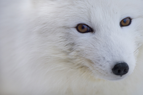 Arctic Fox. Photo: Carsten Egevang, ARC-PIC.com