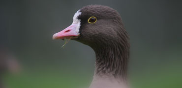 Lesser White-fronted Goose. Photo: Morten Ekker