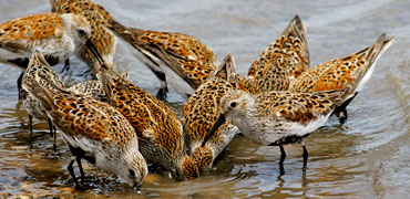 Dunlin: shellgame/Flickr Creative Commons 2.0