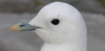Ivory gull: Todd Boland/Shutterstock.com