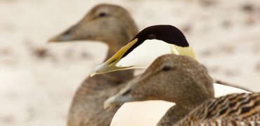 Common eider. Photo: Micha Klootwijk/Shutterstock.com