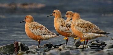 Red knot. Photo: Morten Ekker